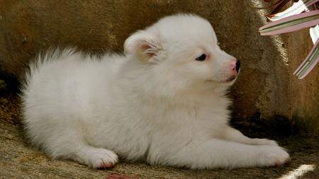 Chum Chum the Japanese Spitz Pictures 708653