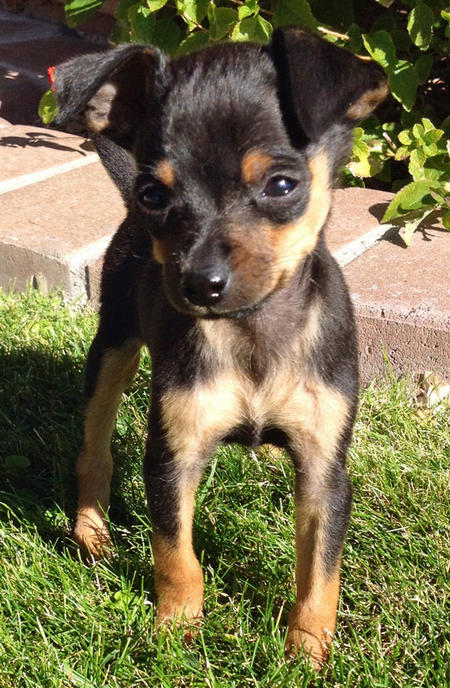 Chumlee the Chihuahua Mix Pictures 1001321