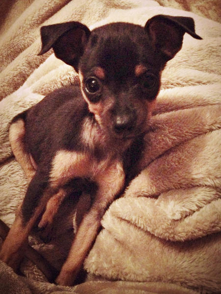 Chumlee the Chihuahua Mix Pictures 1001326