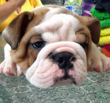 Chunk the Bulldog Pictures 1026783