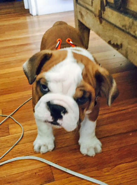Chunk the Bulldog Pictures 1026785