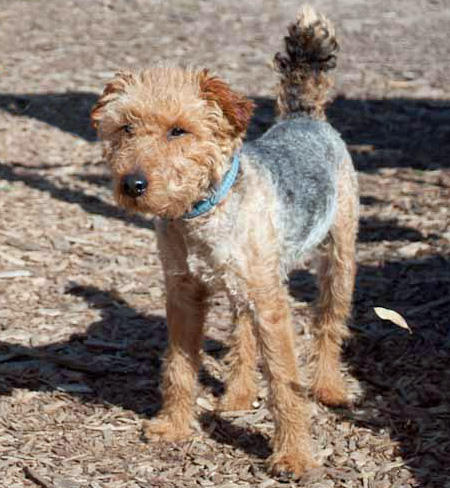Churro the Welsh Terrier Pictures 671736