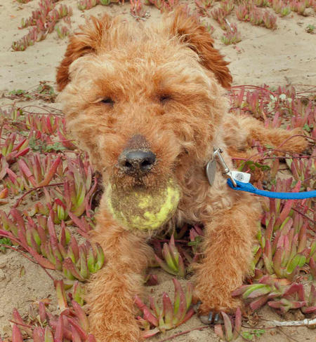 Churro the Welsh Terrier Pictures 671737