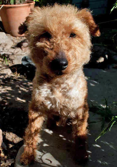 Churro the Welsh Terrier Pictures 671738