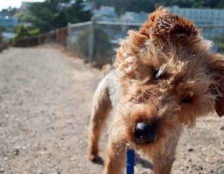 Churro the Welsh Terrier Pictures 671733