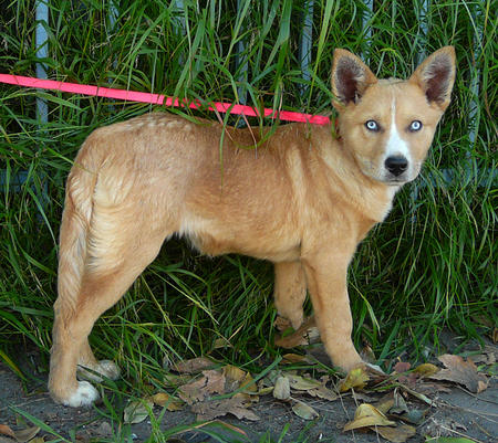 Chutney the Adoptable Husky Mix Pictures 735954