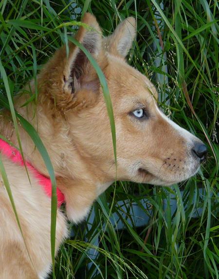 Australian Cattle Dog Husky Mix