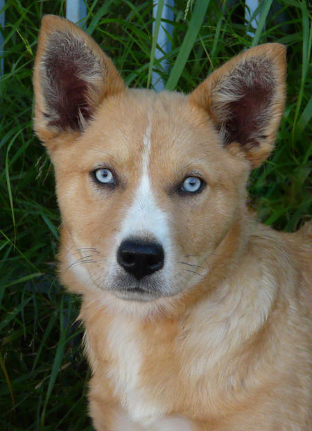 Chutney the Adoptable Husky Mix Pictures 735958