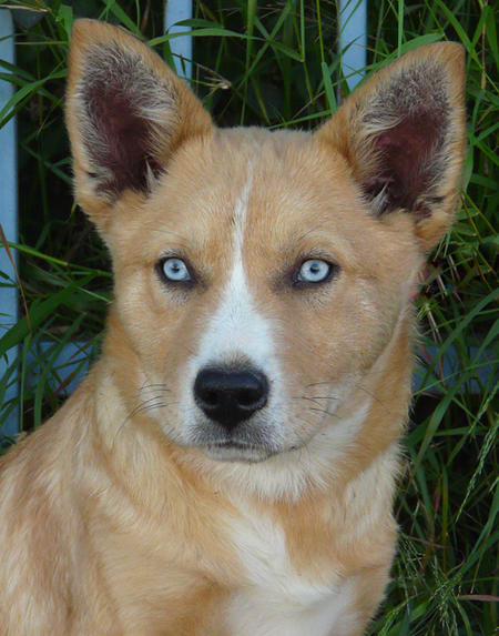 Chutney the Adoptable Husky Mix Pictures 735959