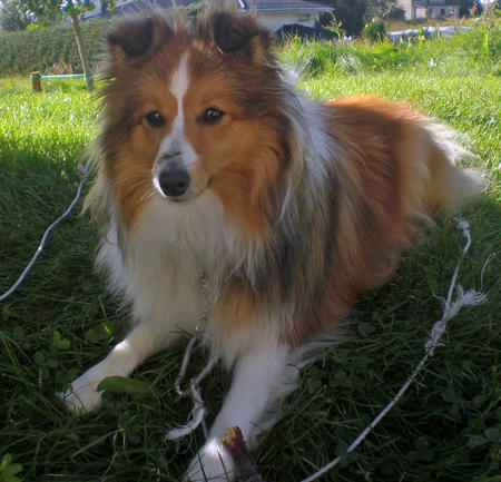 Cindy the Shetland Sheepdog Pictures 688017