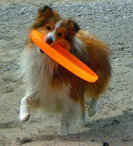 Cindy the Shetland Sheepdog Pictures 688014