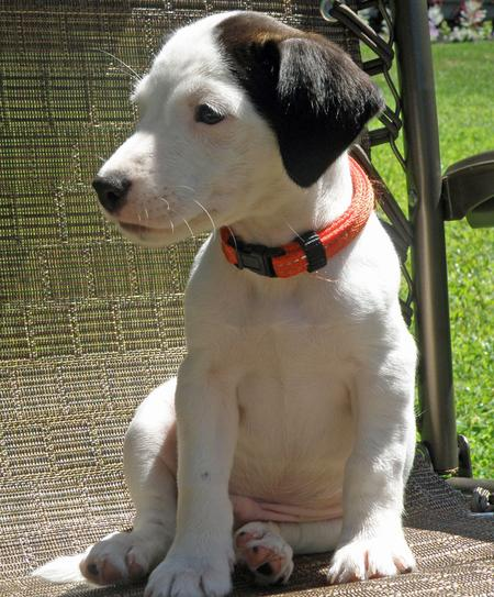 Cisco the Jack Russell Mix Pictures 821710