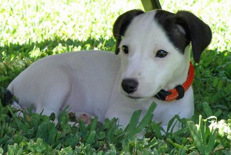 Cisco the Jack Russell Mix Pictures 821711