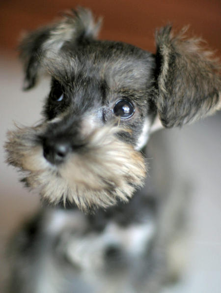 Clea the Miniature Schnauzer Pictures 754398