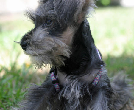 Clea the Miniature Schnauzer Pictures 754400