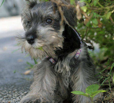 Clea the Miniature Schnauzer Pictures 754402