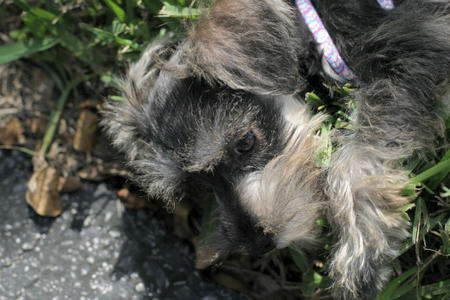 Clea the Miniature Schnauzer Pictures 754396