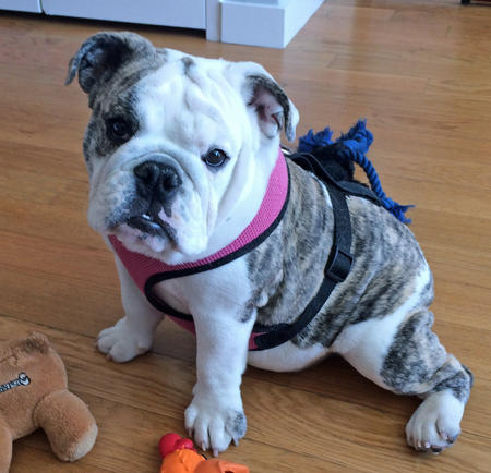 Clementine the Bulldog Pictures 1015235