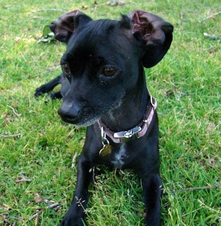 Cleo the Chihuahua Mix Pictures 943244
