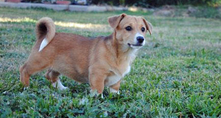 Cleo the Corgi Mix Pictures 897360