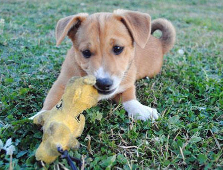 Cleo the Corgi Mix Pictures 897361