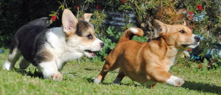 Cleo the Corgi Mix Pictures 897362