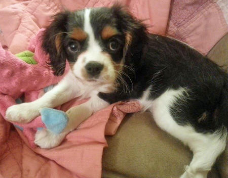 Clover the Cavalier King Charles Spaniel Pictures 1035267