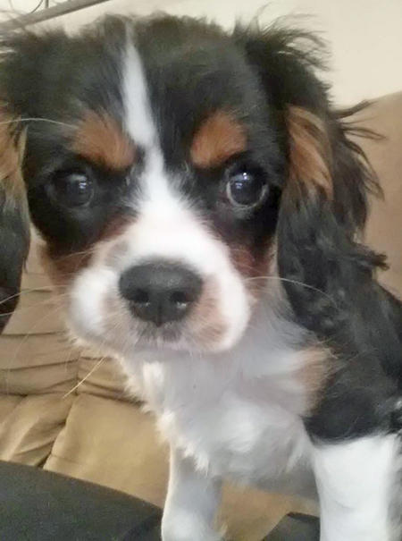 Clover the Cavalier King Charles Spaniel Pictures 1035271
