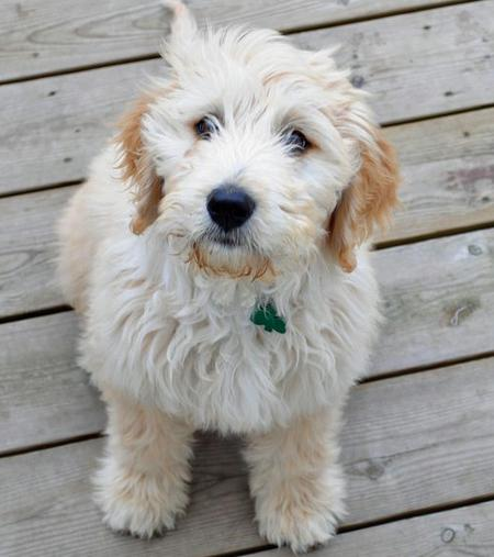 Clover the Goldendoodle Pictures 573777
