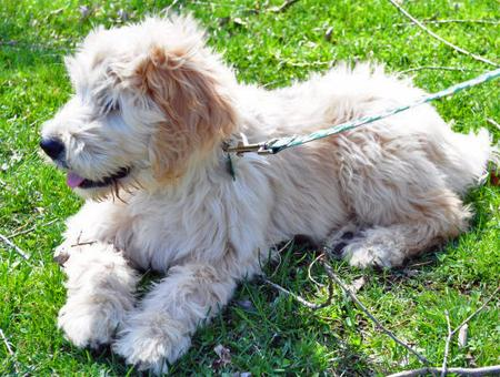 Clover the Goldendoodle Pictures 573781