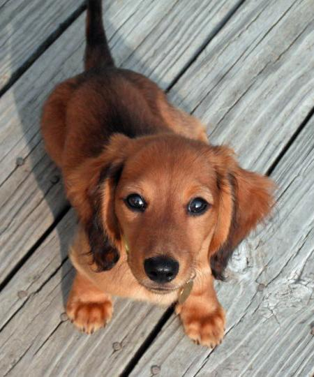 Cobie the Dachshund Pictures 857272