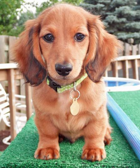 Cobie the Dachshund Pictures 857273