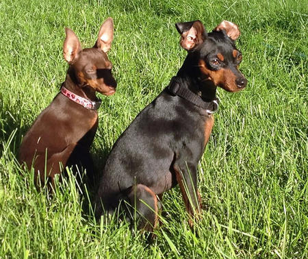 Coco the Miniature Pinscher Pictures 1007015