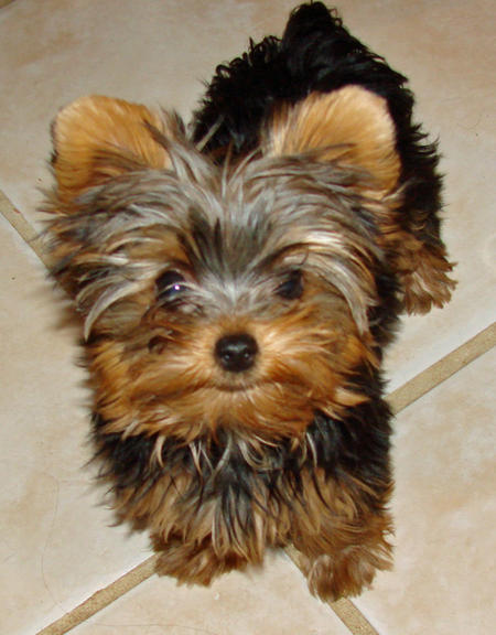 Coco the Yorkshire Terrier Pictures 594902