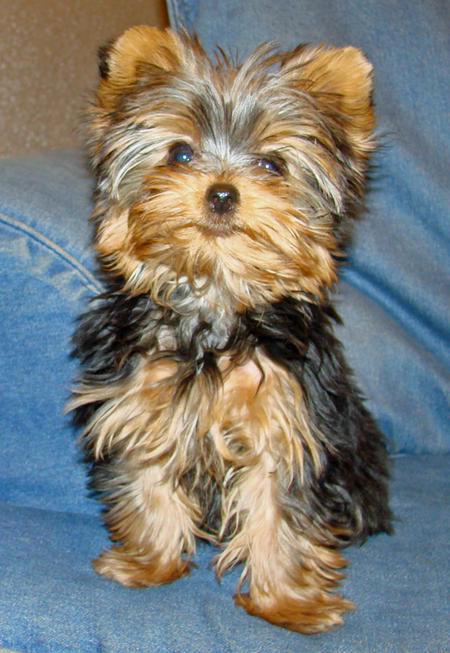 Yorkshire terrier at 4 months old
