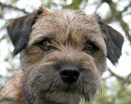 Coda the Border Terrier Pictures 633400