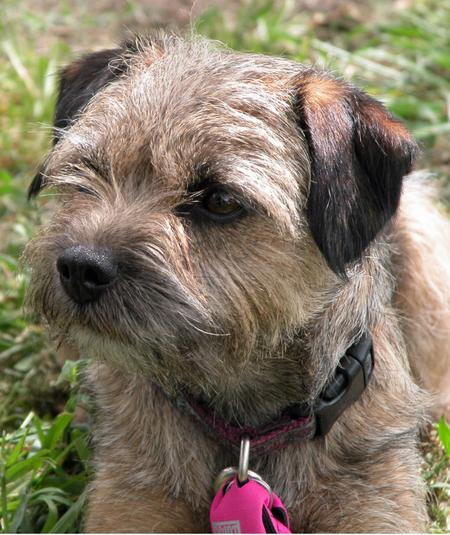 Coda the Border Terrier Pictures 633391