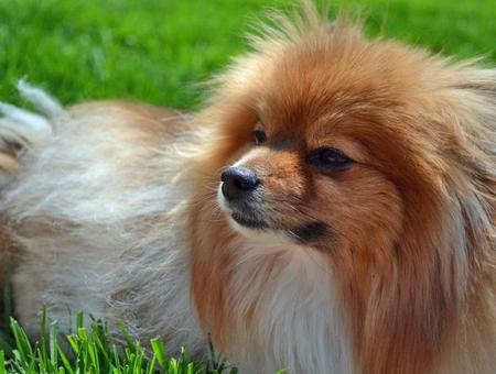 Coda the Pomeranian  Pictures 1028435