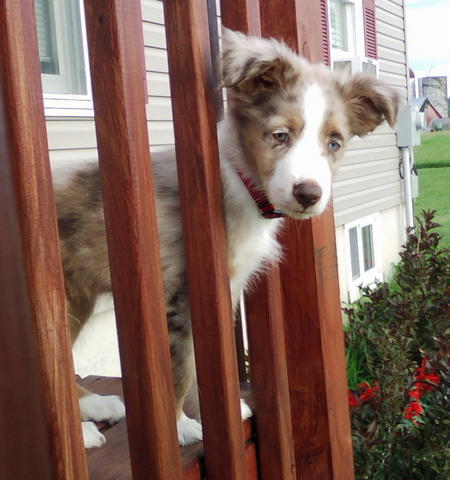 Cody the Australian Shepherd Pictures 994366