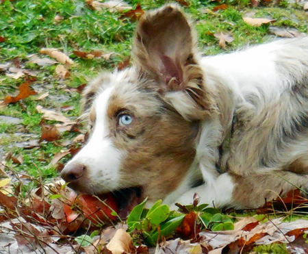 Cody the Australian Shepherd Pictures 994367