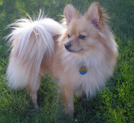 Cody the Pomeranian Mix Pictures 786233