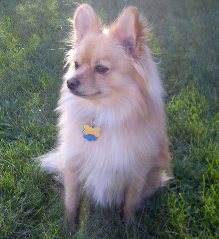 Cody the Pomeranian Mix Pictures 786234