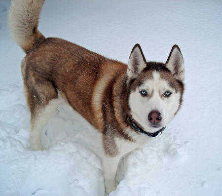 Cody the Siberian Husky Pictures 1046021