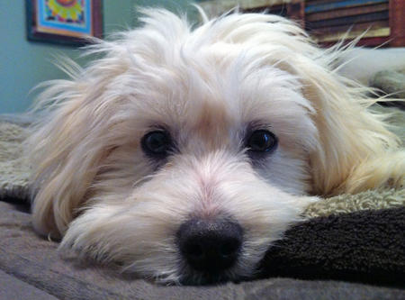 Colby the Coton de Tulear Pictures 949137