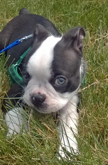 Colonel Mustard the Boston Terrier Pictures 1056515