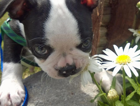 Colonel Mustard the Boston Terrier Pictures 1056517