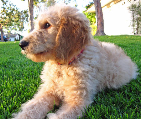 Conan the Goldendoodle Pictures 1054809