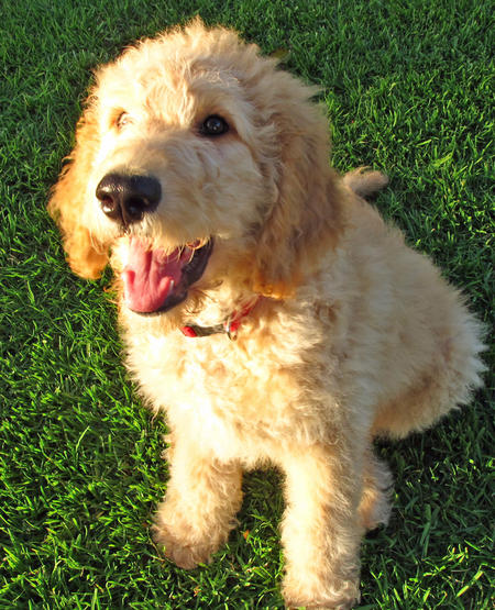 Conan the Goldendoodle Pictures 1054811