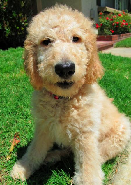 Conan the Goldendoodle Pictures 1054812