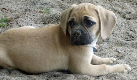 Conner the Puggle Pictures 652550